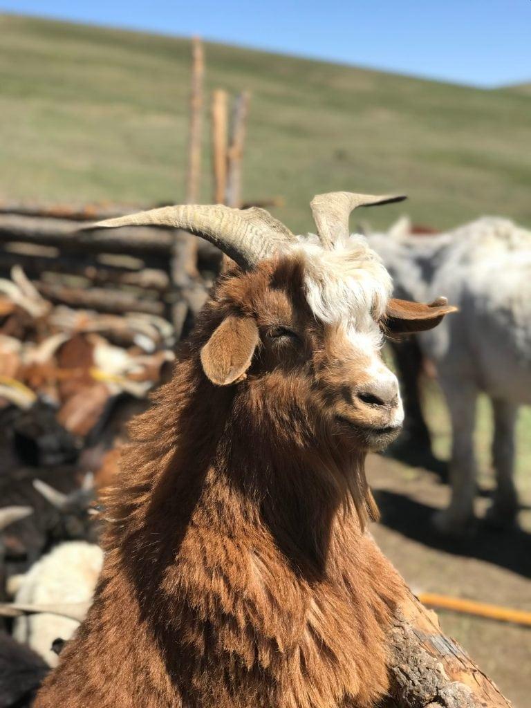 Mongolian Cashmere Goat